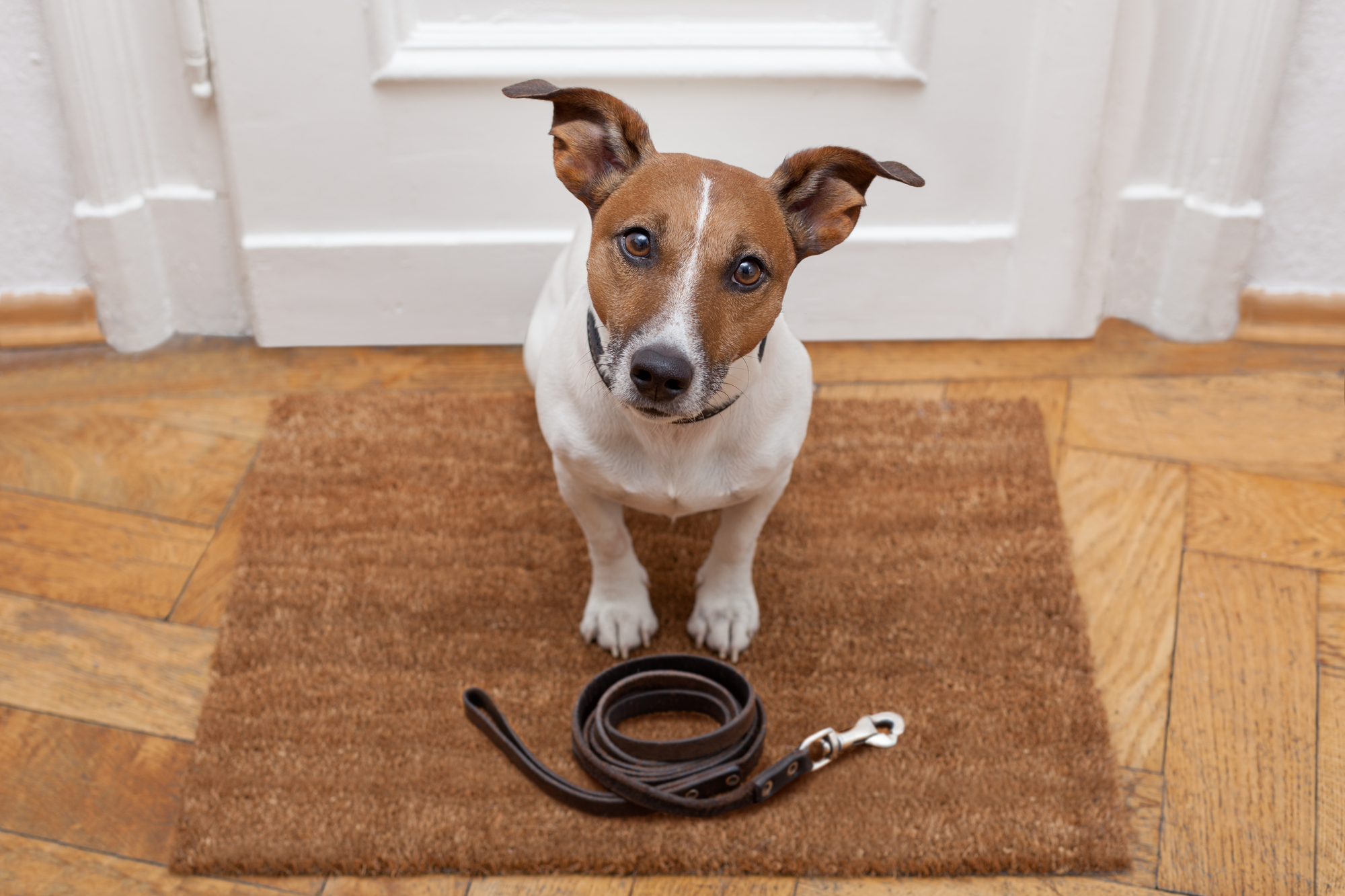 Pet Jack Russell waiting for a walk